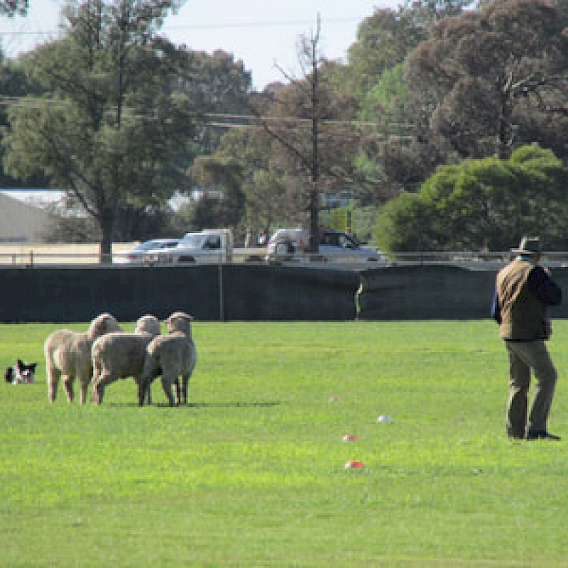 5th Annual Sheep Dog Trial (2020) image